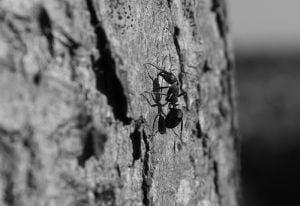 Cum sa scapi de furnici pe cale naturala