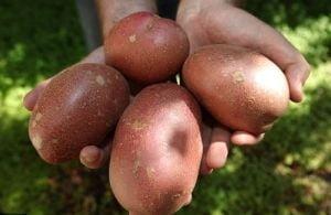 Cum sa scapi de ulcer cu suc de cartofi