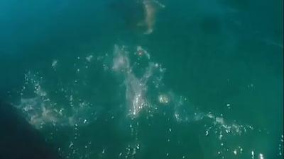 Cursa nebuna a unui inotator urmarit de un rechin. L-a lovit cu labele costumului de scafandru VIDEO