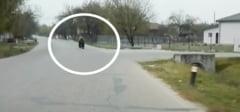 DAMBOVITA: Ursul care bantuie prin localitatile din sudul judetului a ajuns la Cornatelu!