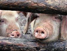 """Dancila i-a trimis lui Iohannis o informare despre """"aparitia si evolutia pestei porcine in Romania"""""""