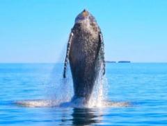 Dansul unei balene salvate dintr-o plasa de pescuit (Video)