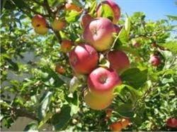 De Sfantul Ilie se mananca mere