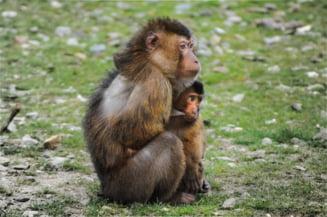 De ce au creat oamenii de stiinta maimute autiste