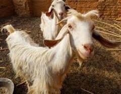 De ce e bun laptele de capra?