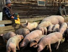 De ce nu este oprita pesta porcina africana in Romania. Importurile au ajuns la 75% din consumul de carne de porc