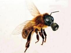 De ce s-a opus Romania interzicerii pesticidului care omoara albinele - Ce alternative exista