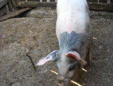 De frica pestei porcine, sateni din Galati si-au taiat toti porcii. Alerta a fost, insa, una falsa