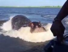 De necrezut: De ce a fost capabil un hipopotam furios (Video)