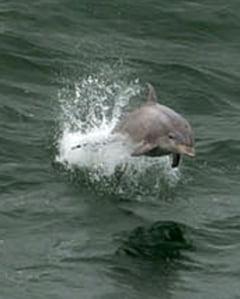 Delfin acuzat de spionaj