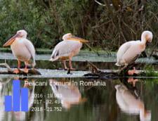 Delta Dunarii ramane paradisul pelicanilor, releva datele celui mai recent recensamant international