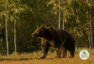 """Deputat USR, despre cazul ursului Arthur: """"Si printii pot fi extradati, si printii trebuie anchetati si supusi fortei legii"""""""