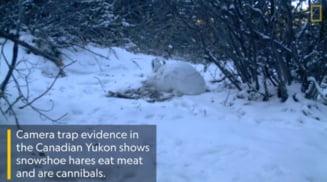 Descoperire surprinzatoare: Iepurii de camp sunt carnivori si... canibali (Video)