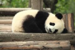 Descoperirea care da peste cap ce stiam despre ursii panda: Stramosii lor obisnuiau sa manance carne
