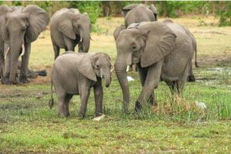 Descoperiri surprinzatoare despre cum interactioneaza elefantii cu mortii lor