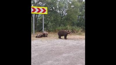 Diana Șoșoacă, întâlnire cu urșii pe Transfăgărășan. Scandal cu localnicii care încercau să alunge animalele VIDEO