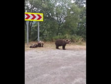 Diana Sosoaca, intalnire cu ursii pe Transfagarasan. Scandal cu localnicii care incercau sa alunge animalele VIDEO