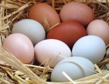 Dilema gospodareasca: sunt mai bune ouale albe sau cele maronii?