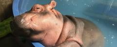 Din reusitele anului 2018: Cel mai mic hipopotam nascut in captivitate s-a transformat spectaculos. O activitate e perfectionata la grad de arta (Video)