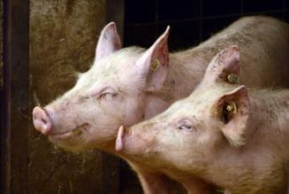 """Directorul Asociatiei Romane a Carnii propune o """"Lege a porcului"""" prin care numarul de animale crescute in gospodarie sa fie limitat"""