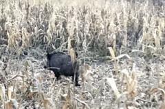 Disperare in randul fermierilor salajeni! Sute de hectare de culturi agricole, distruse de mistreti