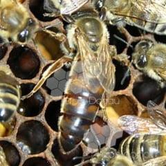 Dobandirea unui stup de albine prin recomandarea Apis Donau
