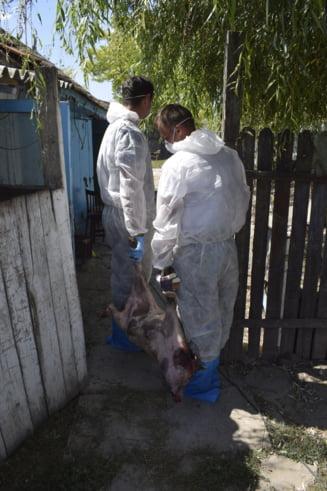 Document ingrijorator de la Bruxelles: In nicio alta tara din UE pesta porcina nu s-a extins asa repede ca in Romania