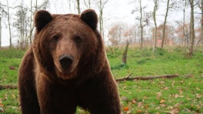 Doi bărbați atacați de urs, în Mehedinți. Animalul venise la stupii aflați la marginea unei localități