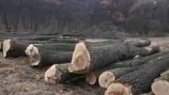 Doi barbati din Vatra Moldovitei, cercetati penal pentru ca au taiat ilegal opt copaci