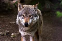 Doi lupi au fost vazuti langa Roma, pentru prima oara dupa peste 100 de ani