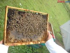 Doi oameni au murit si unul este in soc anafilactic dupa ce au fost atacati de albine in Buzau