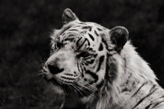 Doi tigri au scapat dintr-o gradina zoologica din Indonezia. Unul dintre angajati a fost sfasiat de feline