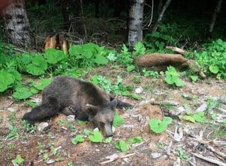 Doi ursi au intrat in curtea unei pensiuni din Brasov. Autoritatile au incercat sa ii alunge timp de doua ore, dar fara rost VIDEO