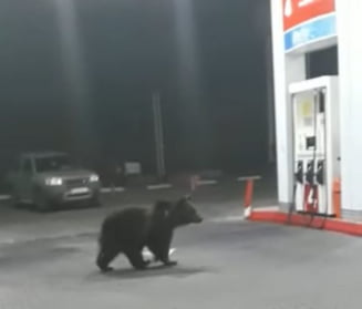 Doi ursi se plimba printr-o benzinarie din Azuga, in cautare de hrana