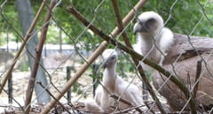 Doi vulturi gay au devenit parinti la o gradina zoologica din Amsterdam (Video)