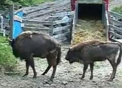 Doi zimbri ucisi de caini salbaticiti: Printre ei, primul zimbru conceput in Muntii Tarcu