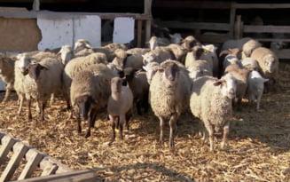 Doua centre avizate temporar pentru sacrificarea mieilor de Paste in Olt. Ce preturi au anuntat crescatorii