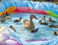 Doua rate au dat lacul pe o piscina din plastic