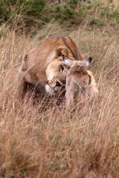 Dovada ca si leoaicele au inima (Galerie foto)