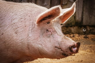 Dupa ce a creat panica in tara, ANSVSA revine: Medicii veterinari nu trebuie sa fie prezenti la taierea fiecarui porc de Ignat