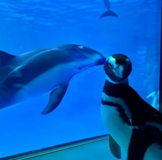Dupa ce si-a inchis portile pentru public, un acvariu a eliberat pinguinii. Se plimba prin sali si isi cunosc vecinii (Video)