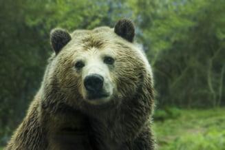 Dupa ce un urs a agonizat pe soseaua din Harghita, Ambasada SUA ne ofera sfaturi si indicatii ferme: Cand sa stai si cand sa fugi