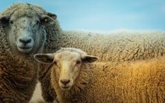 Dupa masacrarea porcilor, urmeaza apocalipsa oilor? O boala fara vaccin si fara leac face ravagii in tara