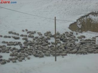 Dupa porci, si oile sunt afectate de o boala periculoasa. Daea: Haideti, domnisoara, nu mai fiti atat de negativista si atat de ingrijorata