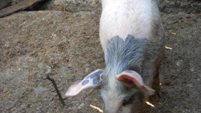 E oficial: Gripa porcina la Sibiu