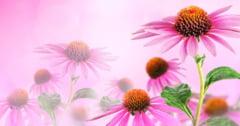 Echinacea, aliatul sistemului imunitar