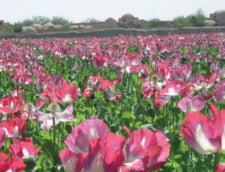 Economia bazata pe opiu a Afganistanului duduie. Recolta record