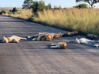 Efectele pandemiei: Leii se relaxeaza pe sosele altadata intens circulate, in Africa de Sud
