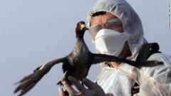 Epidemie de gripa aviara? Pasarile salbatice ar putea raspandi virusul in toata Europa