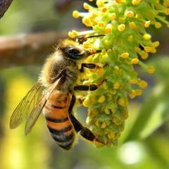 Europa incearca sa-si salveze albinele - pesticide nocive, interzise